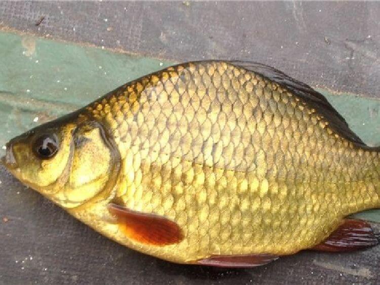 смотреть картинки рыбы карась вдова легендарного наркома