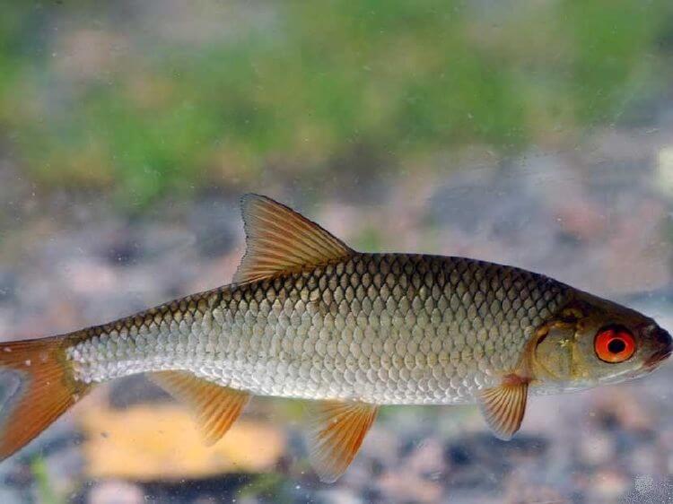 предложение чебак рыба фото проблема при установке