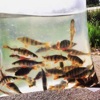 Перевозка рыбы в пруд окунь в пакете купить AlexFX