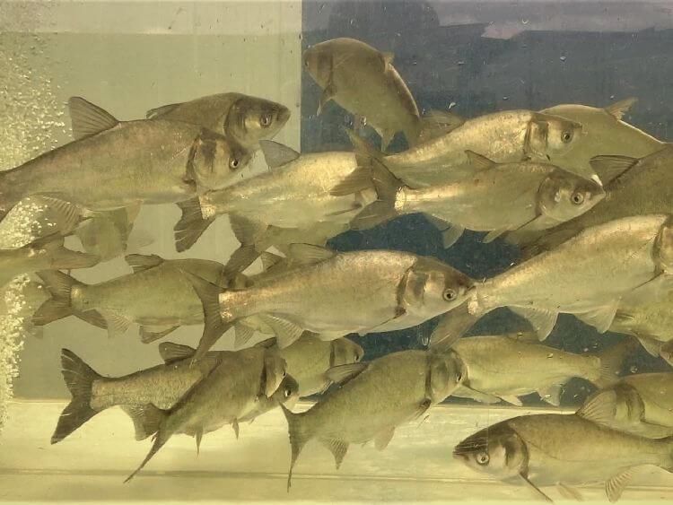 того, прудовые рыбы фото и названия черноземья появилась